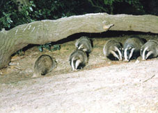Group of badgers