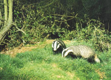 Badgers foraging for food