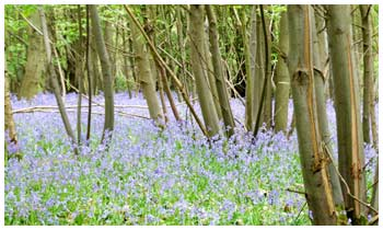 The coppiced branches seem to mysteriously appear above a delectaible blue haze of flowers