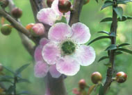 Peach Flower Tea Tree Bush
