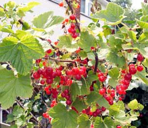 lots of redcurrants to pick