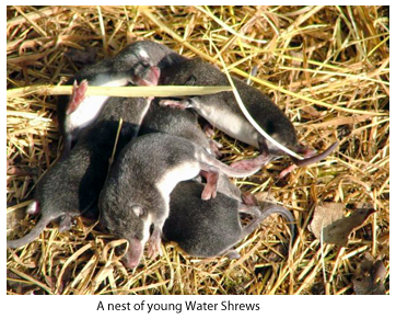 A nest of young water shrews