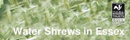 Water Shrews in Essex