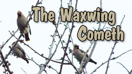 The Waxwing Cometh
