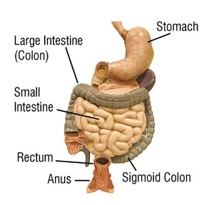 The Digestive system showing the colon