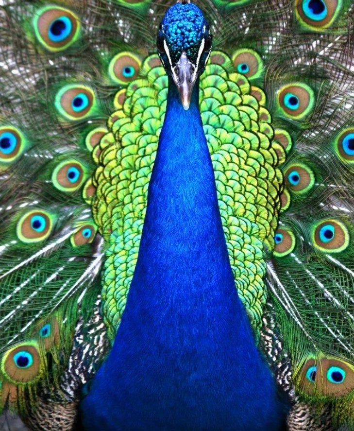 peacocksymbolism.jpg