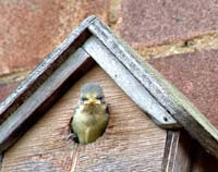 Blue Tit chick about to fledge