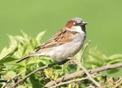 House Sparrows used to be widely seen across the UK before they experienced rapid population decline