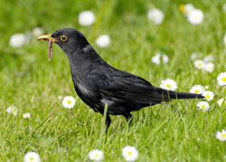 Blackbird with a beak full of food