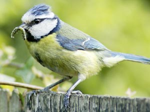 Blue tit with caterpillar