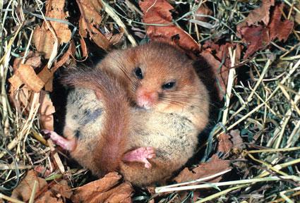Dormouse in it's nest