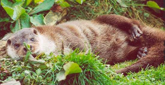 Otter basking