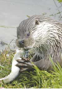 Meal time for the otter