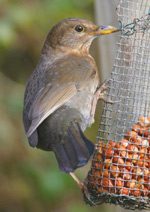 Female-Blackbird-Chris-Mill
