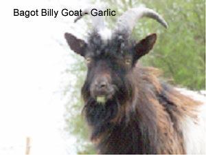 Hadleigh_Farm_Goat