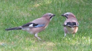 Pair of Jays