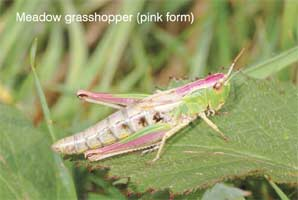Meadow Grasshopper (pink form)