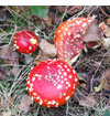 Fly Agaric - the archetypal toadstool