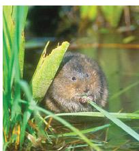 Water vole in Essex eating grass