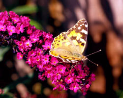 A Painted Lady is feeding from Buddleia, one of the best shrubs to grow for butterflies