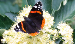 The Red Admiral is quite common most years and may have benefited