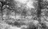 Hockley Woods as it was in the early 20th Century. Note how open the canopy was.