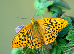 The Silver-washed Fritillary disappeared from Essex in the 1950s
