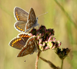 In Essex, the Brown Argus is one of the few butterflies that have increased in recent years.