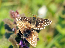The pretty little Grizzled Skipper