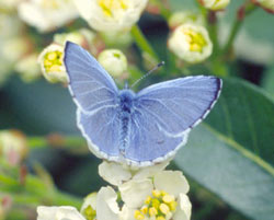 The Holly Blue is one of our most common butterflies in town gardens