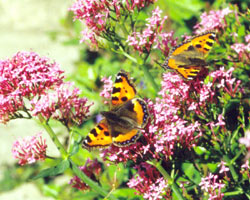 Two Small Tortoiseshells – a rare sight in recent years