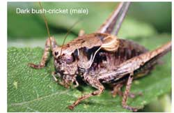 Bush-Cricket (male)