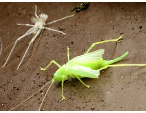 Margaret Elsden's photograph of a female oak bush-cricket and larval moult