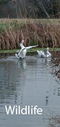 Wildlife in Essex: geese