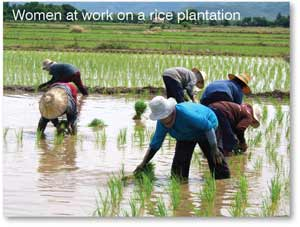 Women at work on a rice plantation