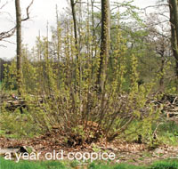 a year old coppice