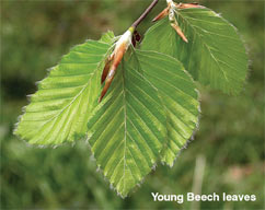 young_beech_leaves
