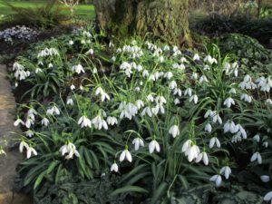 Stunning snowdrops pictured at Dragons in Chelmsford, February 2018