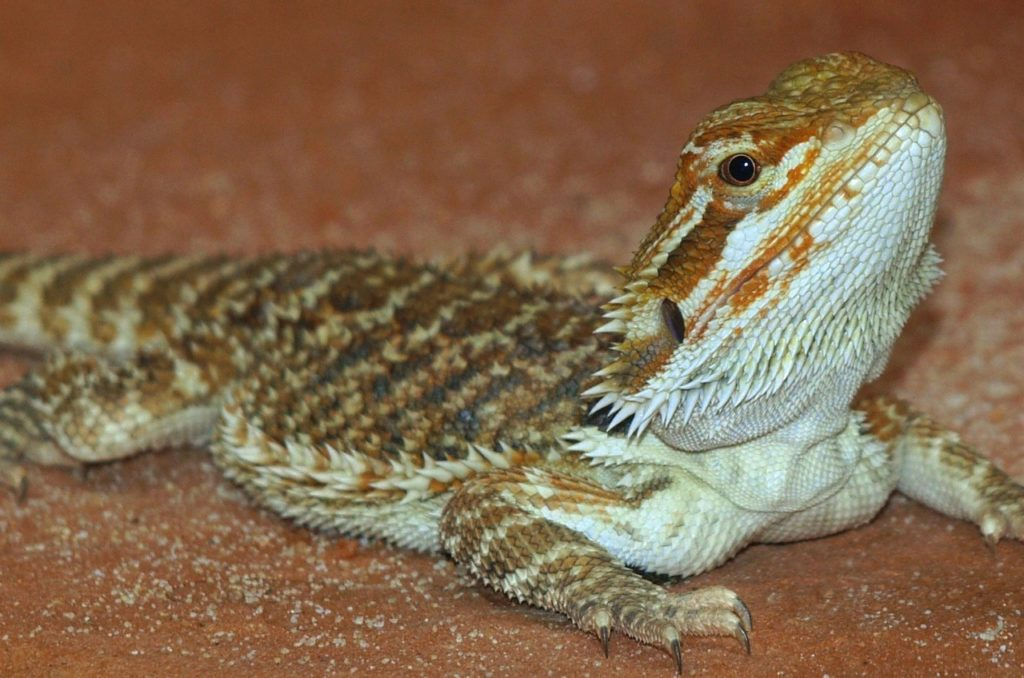 Owning a bearded dragon can teach kids valuable lessons