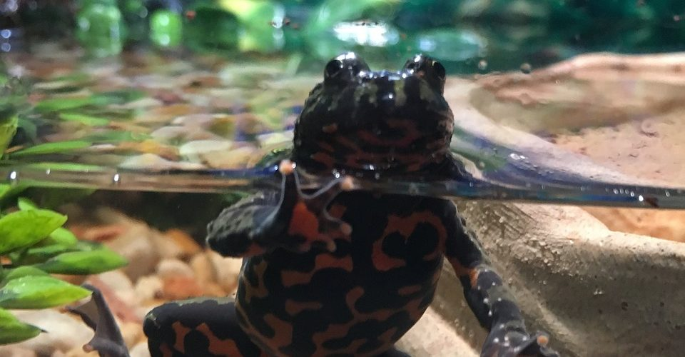 fire bellied toad. 6 valuable lessons kids learn owning unique pets