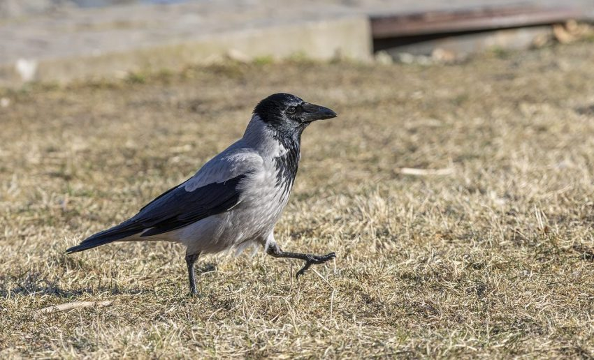 The Hooded Crow, corvus Cornix, known as the Hoodie