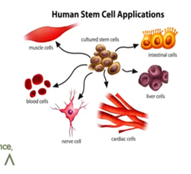 By encouraging the release of stem cells into the blood stream, StemEnhance Ultra helps improve our immune systems